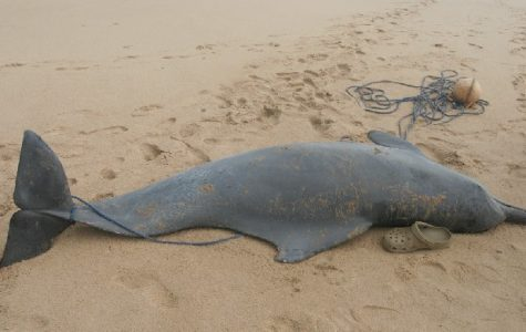 Atlantic Humpback Dolphins are Going Extinct