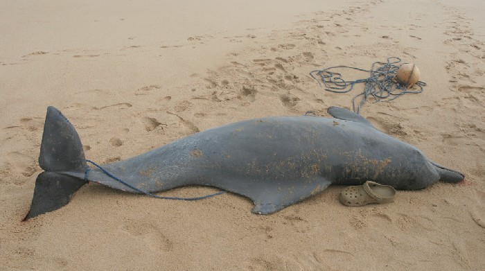Atlantic+Humpback+Dolphins+are+Going+Extinct