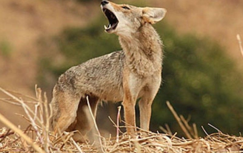 South Windsor Residents Voice Concerns Over Coyotes