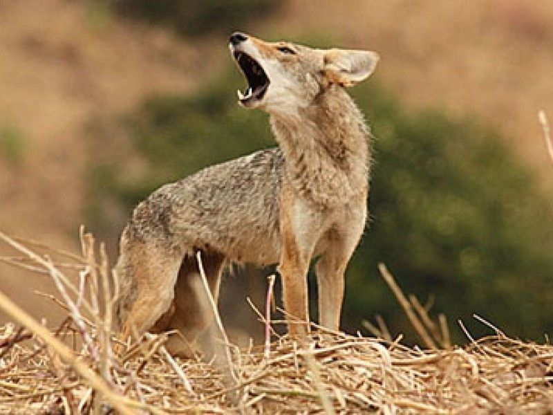 South+Windsor+Residents+Voice+Concerns+Over+Coyotes