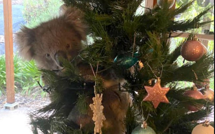 Koala visits Australian family Christmas Tree